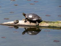 Turtle Basking with Baby. Red-eared slider and baby turtle basking in the sun on a log in Lake Artemesia Stock Image