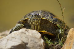 Turtle basking in the sonyshke Royalty Free Stock Images