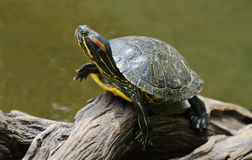 Turtle basking in the sun. A red-eared slider turtle basking in the sun on a dead branch Royalty Free Stock Photography