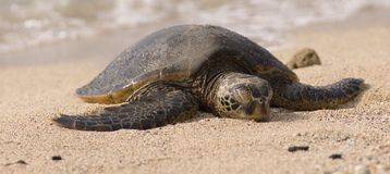 Turtle on the beach Royalty Free Stock Images
