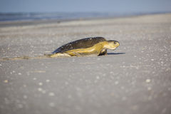 Turtle at the beach Stock Photography