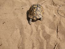 Turtle in the beach. Turtle goes hiking in the beach Royalty Free Stock Photography