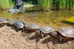 Turtle Beach. Group Red-eared slider resting on the shore. Turtle lined Stock Photography