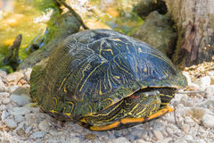 Turtle on a bed of rocks Royalty Free Stock Photo