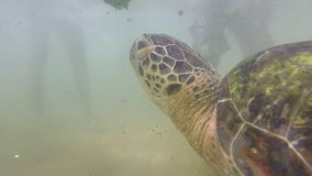 Turtle being fed seaweed by local man to entertain tourists stock footage
