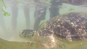 Turtle being fed seaweed by local man to entertain tourists stock video