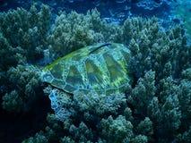 Turtle. Big turtle on coral reef Royalty Free Stock Image
