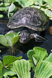 A turtle. A big grey turtle in a natural small pond with water plants Stock Photography
