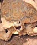 Turtle, big reptile. Big turtle , reptile eating grass Stock Photos