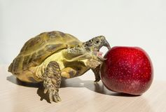 Turtle biting red apple on white background, reptile animal eating, turtle eating apple. Turtle biting red apple on white background,turtle eating apple, reptile stock photos