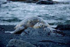 Turtle on black sand beach. Turtle resting on black sand beach by the ocean Royalty Free Stock Images