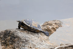 Turtle at Blue Hole National Key Deer Refuge, Big Pine Key West royalty free stock photos