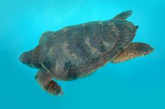 Turtle at blue water Royalty Free Stock Images