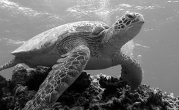 Turtle On Bommie. Turtle On A Bommie (Large outcrop of Coral Stock Photography