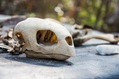 Turtle bone skull Royalty Free Stock Images