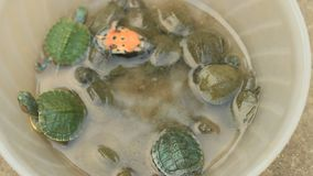 Turtle in a bowl. The turtle in a bowl stock footage