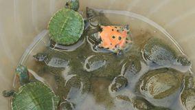 Turtle in a bowl. The turtle in a bowl stock video footage