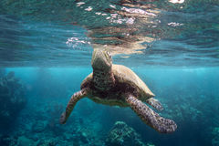 Turtle Breathing. A green sea turtle takes a breath Stock Images