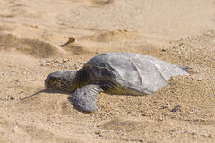 Turtle Buired in Sand Royalty Free Stock Photography