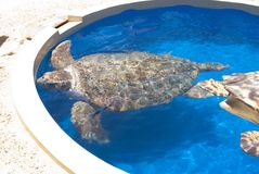 Turtle in Captivity Royalty Free Stock Photo