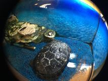 Turtle in captivity royalty free stock images