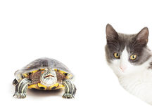 Turtle and a cat Royalty Free Stock Photo