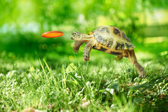 Turtle catches the frisbee Stock Photos
