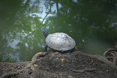 Turtle from central of Thailand Royalty Free Stock Photos