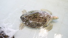 Turtle or Chelonia mydas in pond stock footage