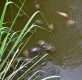 Turtle Chrysemys Scripta Elegans, Hainan Island, China Stock Images