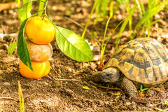 Turtle and Clementine. Turtle is about to eat Clementine stock images