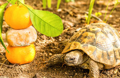 Turtle and Clementine Royalty Free Stock Photos