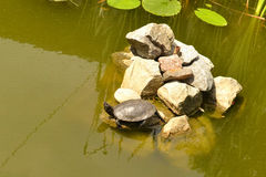 Turtle climbed out of the water on a rock. And basking in the sun Royalty Free Stock Photos