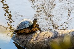 Turtle climbing a tree near river stock images