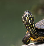 Turtle close-up. A funny turtle close-up with blurred background Stock Images