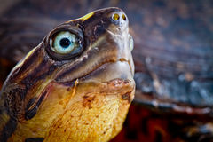 Turtle close up Stock Photography