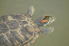 Turtle close up Royalty Free Stock Photo