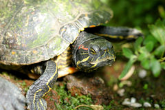 Turtle close-up Royalty Free Stock Photography