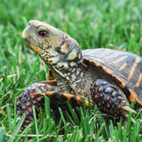 Box Turtle on grass Royalty Free Stock Images