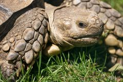 Turtle close up in the green grass Stock Images