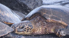 Turtle close up. Close up of turtle on Hawaii black sands beach Royalty Free Stock Image