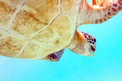 Turtle. Close-up shot of a turtle under water, shallow focus Stock Photography