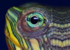Turtle close up Royalty Free Stock Photography