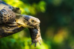 Turtle close-up. Flying turtle green background Royalty Free Stock Photos