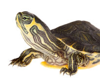 Turtle closeup Royalty Free Stock Images