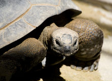 Turtle closeup Royalty Free Stock Photo