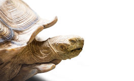 Turtle. Closeup of the old turtle isolated on white Royalty Free Stock Image