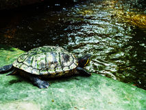 A turtle Royalty Free Stock Images