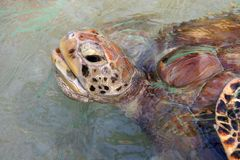 Turtle comes up to breath, Bequia, Caribbean Stock Photography