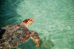 Turtle coming out of the water Stock Photos